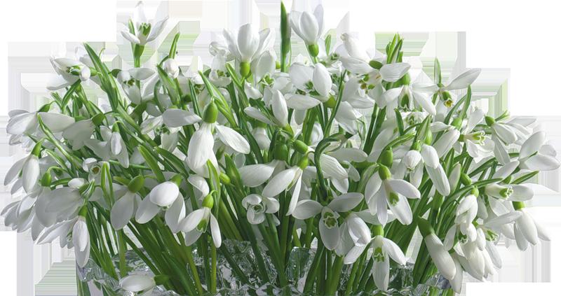 Фотосток: весенние цветы - подснежники