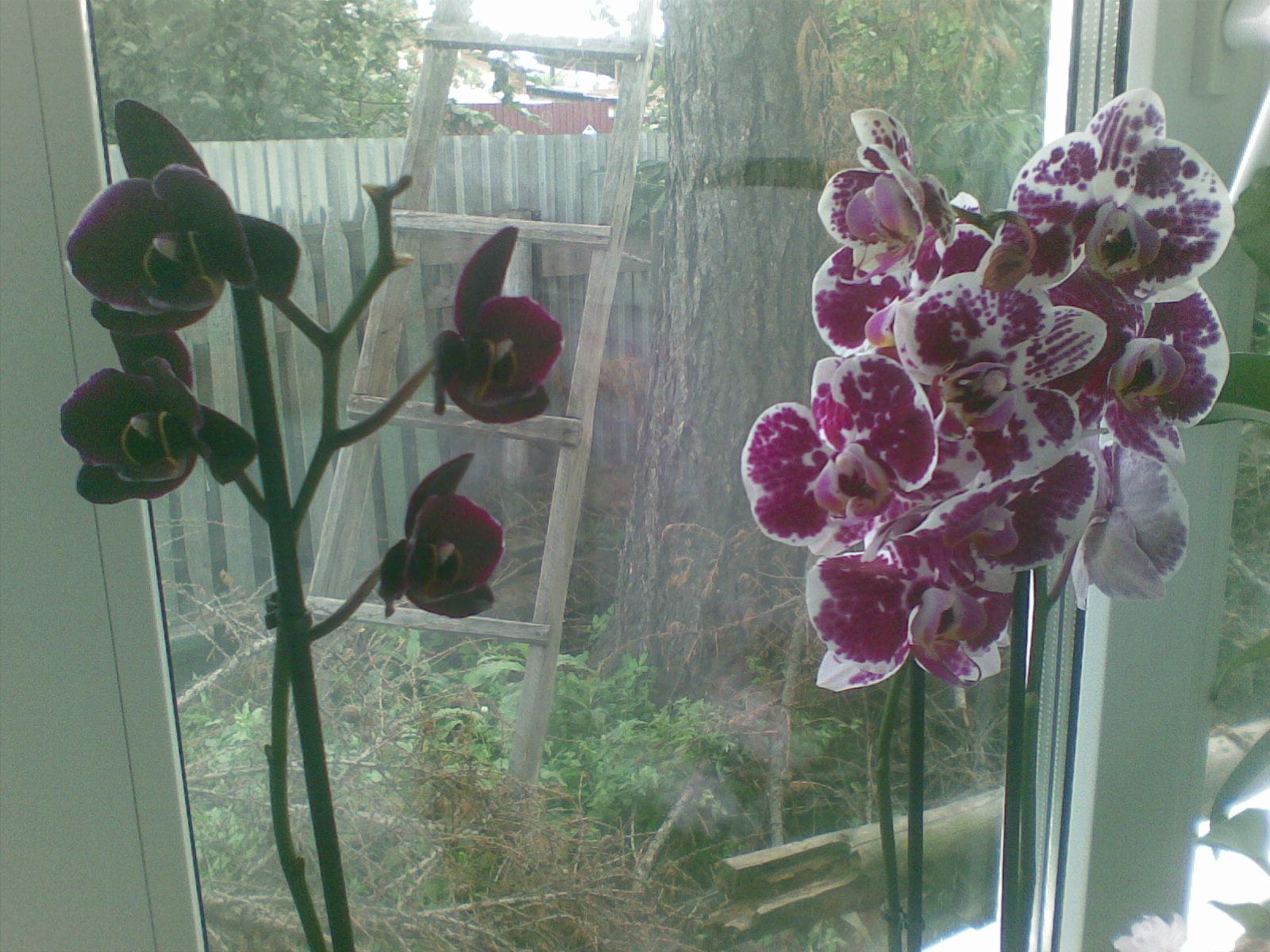 Выращивание орхидей. Уход за орхидеей в домашних условиях 95
